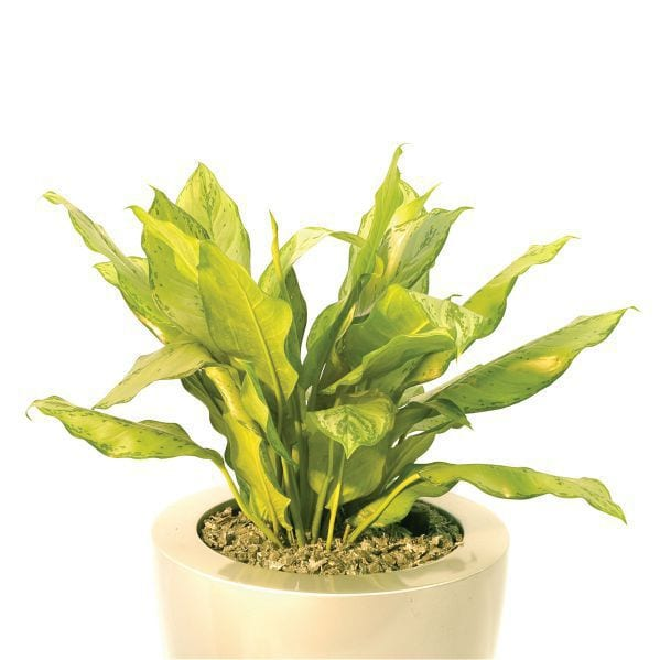 "Aglaonema ""BJ Freeman"""