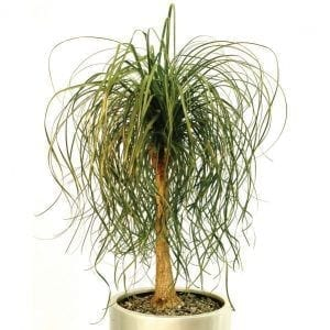 Beaucarnea recurvata (Pony Tail Palm)
