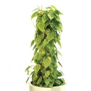 Philodendron scandens (Heart Leaf Philodendron)