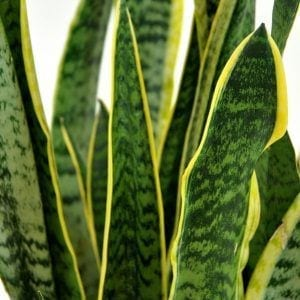 Sansevieria trifasciata (Mother in Law Tongue)